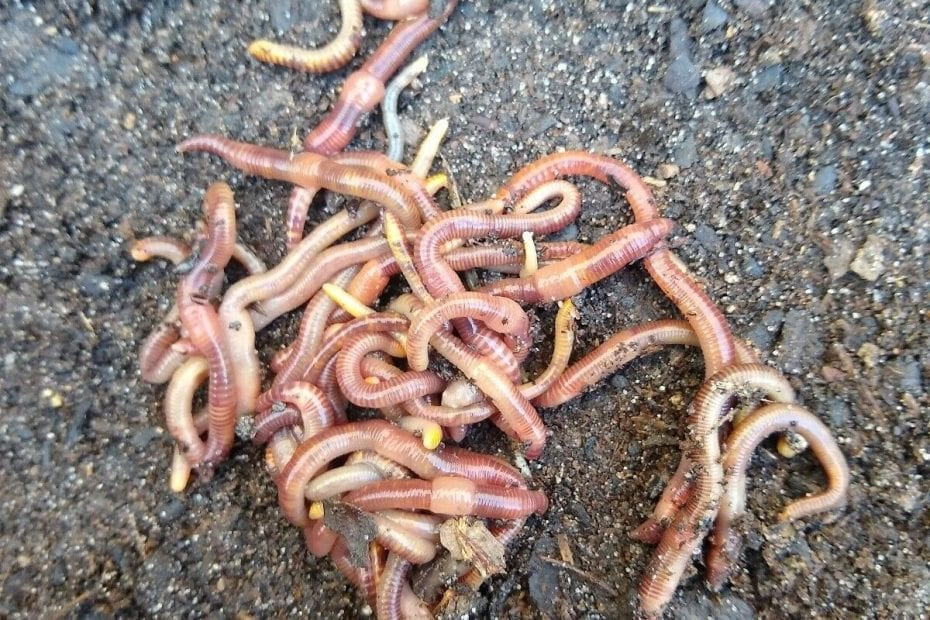 Worms - Red Wigglers