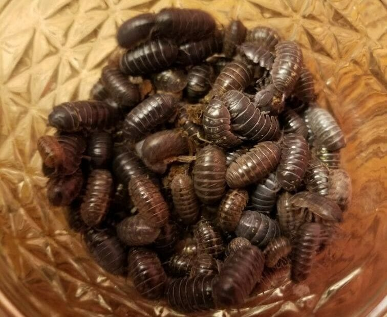 Isopod Rolly Pollys